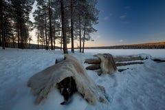 Reindeer Hide Royalty Free Stock Photo