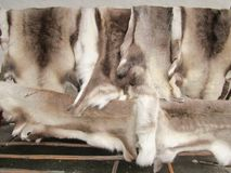 Reindeer hides for sale in a Norwegian shop. stock photo