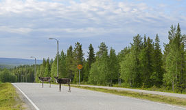 Reindeer are on the highway Royalty Free Stock Photography