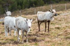 Reindeers ona hill Relaxed stock photography