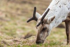 Reindeer closeup stock photo