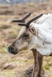 Reindeer on a hill royalty free stock images