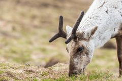 Reindeer on a hill royalty free stock image