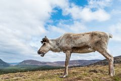 Reindeer on a hill royalty free stock photos