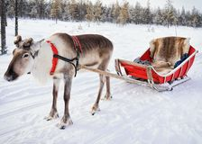 Reindeer without horn at winter farm in Finnish Lapland. Reindeer without horn at winter farm in Rovaniemi, Finnish Lapland Stock Photos