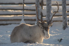 Reindeer with horns. Rainder in snow covered polar landscape Stock Photo