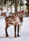 Reindeer without horns in farm in winter Finnish Lapland. Reindeer without horns in farm in winter Rovaniemi, Finnish Lapland Royalty Free Stock Photography