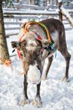 Reindeer without horns in farm winter Finnish Lapland. Reindeer without horns in farm, winter Rovaniemi, Finnish Lapland Royalty Free Stock Photo