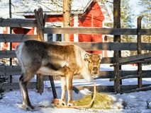 Reindeer without horns at farm in winter Finnish Lapland. Reindeer without horns at farm in winter Rovaniemi, Finnish Lapland Stock Photo