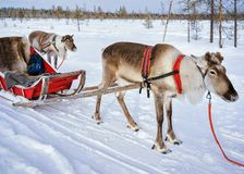 Reindeer without horns in sledge at winter Finnish Lapland. Reindeer without horns in sledge at winter Rovaniemi, Finnish Lapland Royalty Free Stock Photos