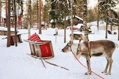 Reindeer without horns in sledge in winter Finnish Lapland. Reindeer without horns in sledge in winter Rovaniemi, Finnish Lapland Royalty Free Stock Images