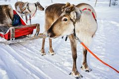 Reindeer without horns at sledge in winter Finnish Lapland. Reindeer without horns at sledge in winter Rovaniemi, Finnish Lapland Stock Photos