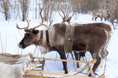 Reindeer with horns in a team Stock Photography