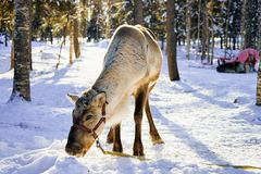 Reindeer without horns in winter farm in Finnish Lapland. Reindeer without horns in winter farm in Rovaniemi, Finnish Lapland Stock Image