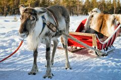 Reindeer without horns at winter farm in Finnish Lapland. Reindeer without horns at winter farm in Rovaniemi, Finnish Lapland Royalty Free Stock Photos
