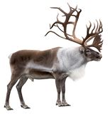 Reindeer with antlers isolated on the white background. Reindeer with huge antlers isolated on the white background - side view royalty free stock photography