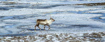 Reindeer in Iceland Royalty Free Stock Image