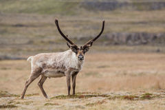 Reindeer, Iceland Royalty Free Stock Images