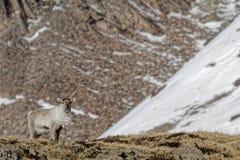 Reindeer in Icelandic landscape Stock Photos