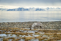 Free Reindeer In Arctic Summer Stock Photography - 58609442