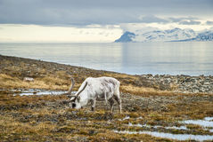 Free Reindeer In Arctic Summer Royalty Free Stock Images - 58609609