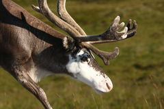 Reindeer In Norway Royalty Free Stock Photos