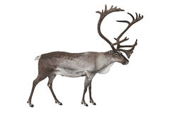Reindeer isolated on white. Male reindeer shot in studio isolated on white Stock Photography