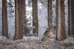 Reindeer. In its natural environment in Lapland Royalty Free Stock Photo