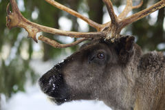 Reindeer in its natural environment in scandinavia Royalty Free Stock Images