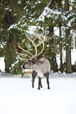 Reindeer in its natural environment in scandinavia Royalty Free Stock Photos