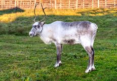 Reindeer, known as caribou of North America in the field.  stock photo