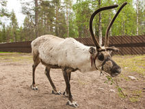 Reindeer in Lapland, Finland Royalty Free Stock Image