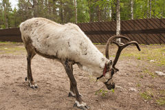 Reindeer in Lapland, Finland Royalty Free Stock Images