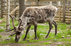 Reindeer in Lapland, Finland Royalty Free Stock Photography