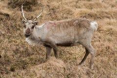 Reindeer in lapland in Norway Stock Image