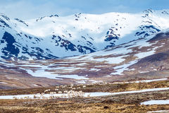 Reindeer. Large Herd of Reindeer Browsing Along Arctic Tundra Below Snow Capped Mountains Stock Images