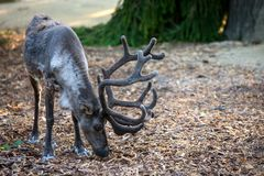 The reindeer & x28;lat. Rangifer tarandus& x29;, also known as the caribou in North America. Summer, animal, lapland, nature, svalbard, background, wildlife stock images