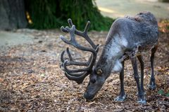 The reindeer & x28;lat. Rangifer tarandus& x29;, also known as the caribou in North America. Summer, animal, lapland, nature, svalbard, background, wildlife stock image