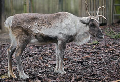 Reindeer 4 Royalty Free Stock Images