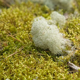 Reindeer lichen Royalty Free Stock Photo
