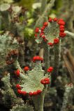 Reindeer lichen Royalty Free Stock Images