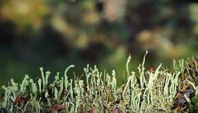 Reindeer lichen Stock Images