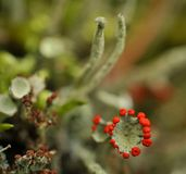 Reindeer lichen Stock Photo