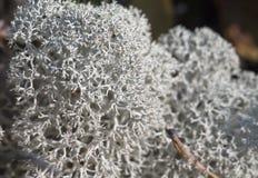 Reindeer lichen, close-up Stock Photo