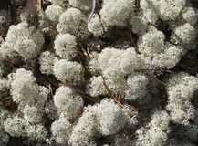 Reindeer lichen, close-up Royalty Free Stock Photos