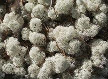 Reindeer lichen, close-up Royalty Free Stock Photos