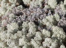 Reindeer lichen, close-up Stock Photos