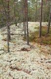 Reindeer lichen; Stock Image