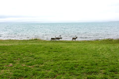 Reindeer living on the Northern Norway coast Stock Photography