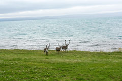 Reindeer living on the Northern Norway coast Royalty Free Stock Photography